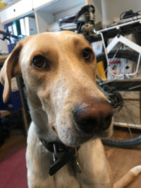 Bürohund Coco